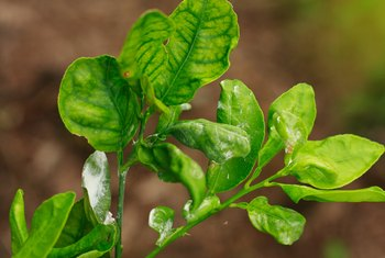 Soapy Spray to Get Rid of Mealybugs on Plants