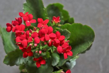 How to Prune Kalanchoes