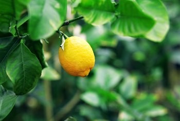 In What Month Do Lemons Produce on Trees?