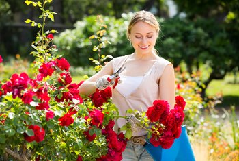 How to Feed Roses With Banana Peels