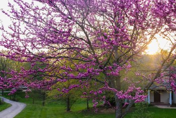 How to Plant Eastern Redbud Trees