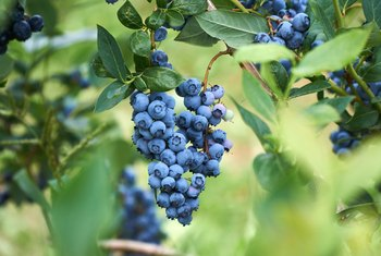 How Much Vinegar to Add to Tap Water for Watering Blueberries?