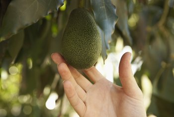 What Kind of Soil Is Good for Avocado Trees?