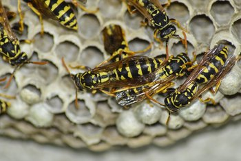 How to Kill a Yellow Jacket Colony in the Ground