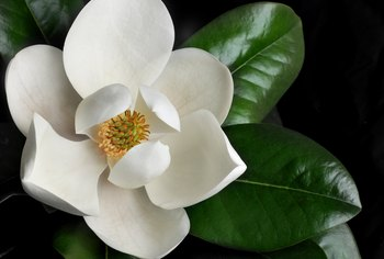 The Types of Fertilizer to Deep-Feed a Magnolia Tree