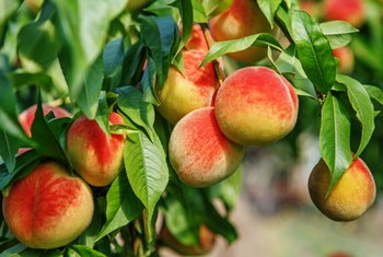 The Best Time to Prune Peach Trees