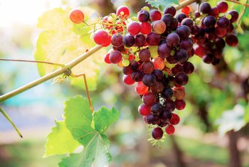 How to Cure Black Rot in Grapes
