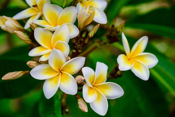 What to Do With Plumeria Seed Pods