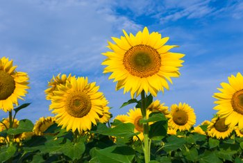 What Time of Year Do Sunflowers Bloom?