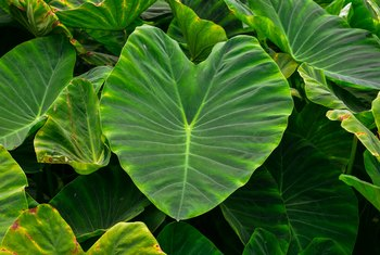 Should Elephant Ears Be Planted in the Shade or in the Sun?
