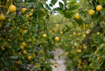 The Best Kind of Lemon Tree