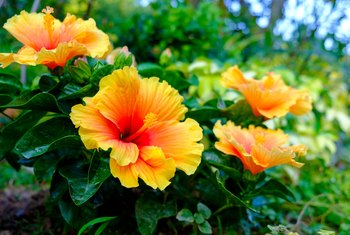 Care & Maintenance of Tropical Hibiscus