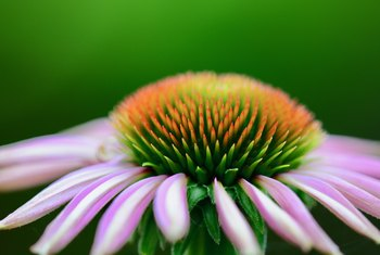 How to Harvest Echinacea for Tea