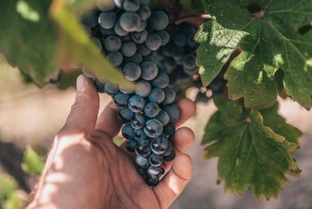 Differences Between Wild Grape Vines & Domesticated Vines