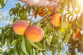 How Long Before a New Peach Tree Bears Fruit?