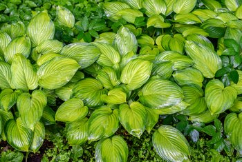 Homemade Bug Killer for Hostas