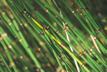 Bamboo Vs. Horsetail Reed