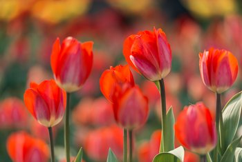 What to Do With Tulips After They Bloom