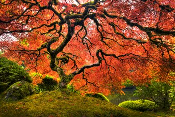 How Deep Do the Roots of a Dwarf Japanese Maple Go Into the Ground?