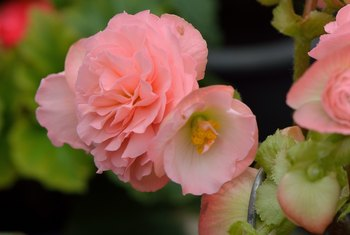 How To Maintain Rieger Begonia Flowers Home Guides Sf Gate