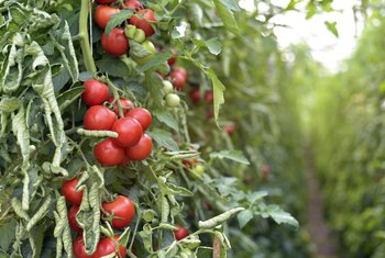 Is Bone Meal Good for Tomato Plants?