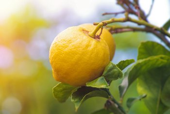How to Clone a Lemon Tree