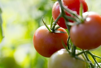 Do Tomato Plants Prefer Morning or Afternoon Sun