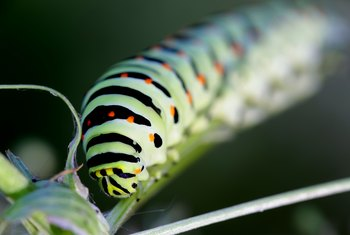 Are Black & Yellow Tree Caterpillars Poisonous?