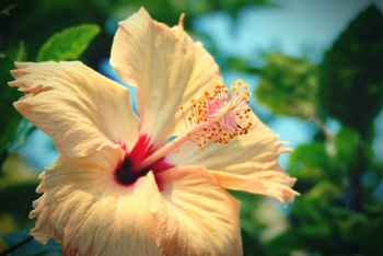 What Brand Fertilizer Should I Use for Hibiscus?