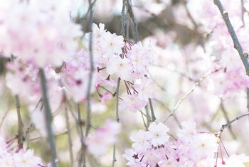 Information on Dwarf Weeping Cherry Trees