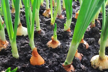 Compatible Plants With Onions & Garlic