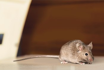 Does Vinegar Help Get Rid of Mice?