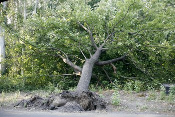 Can an Uprooted Tree Be Replanted?