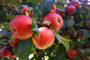 How to Grow an Apple Tree From a Cutting