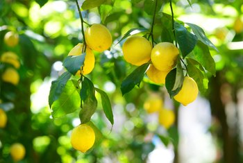 How to Naturally Fertilize a Citrus Tree