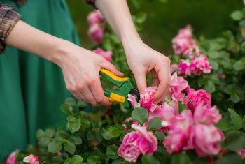 When Is It OK to Cut Roses to the Ground?