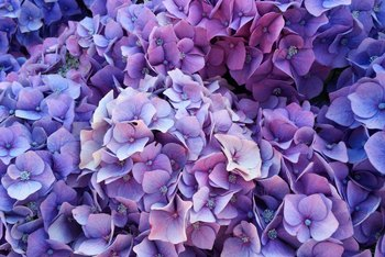 When To Cut Old Flowers Off Of A Hydrangea Home Guides Sf Gate