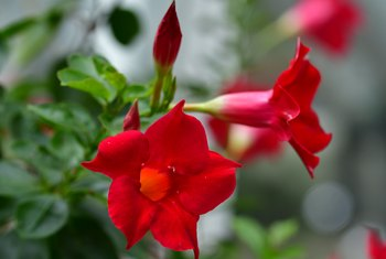 Tips on Caring for the Mandevilla Vine