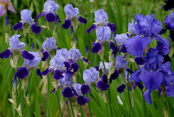 When to Cut Back a Bearded Iris