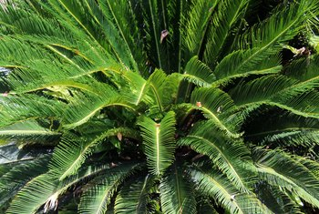 Care of a Sago Palm Outdoors