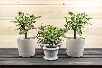 Care Tips for a Money Tree With Brown Spots