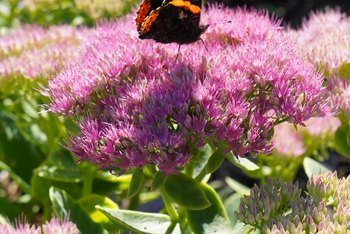 Sedum flowers are attractive to butterflies.