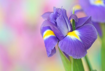 Can You Trim Iris Stems After They Bloom?