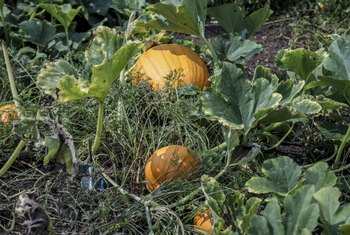 How to Keep a Pumpkin From Rotting on the Vine