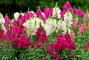 How to Cut a Snapdragon Flower for Continuous Blooming
