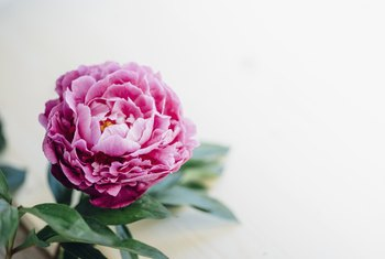 How to Transplant Peonies in the Spring