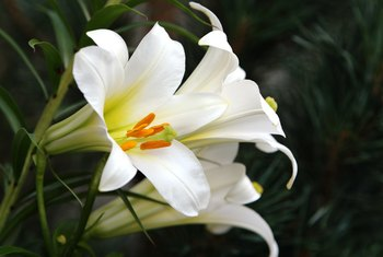Easter lily (Lilium longiflorum) is hardy in USDA hardiness zones 4 through 9.
