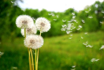 Homemade All Natural Dandelion Weed Killer