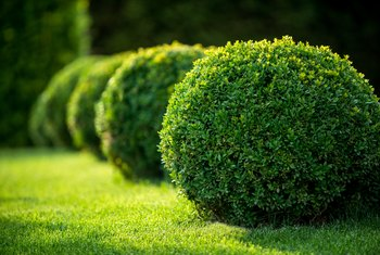 Can Boxwood Grow in the Shade?