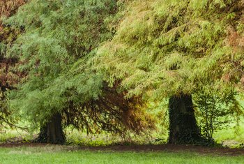 How to Propagate a Bald Cypress